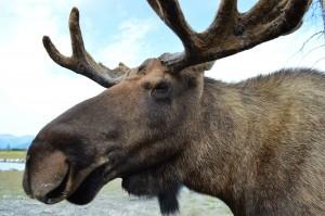 One very handsome, photogenic Moose.