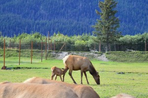 And for my other Lactation Consultant friends, this nursing elk and it's mother.